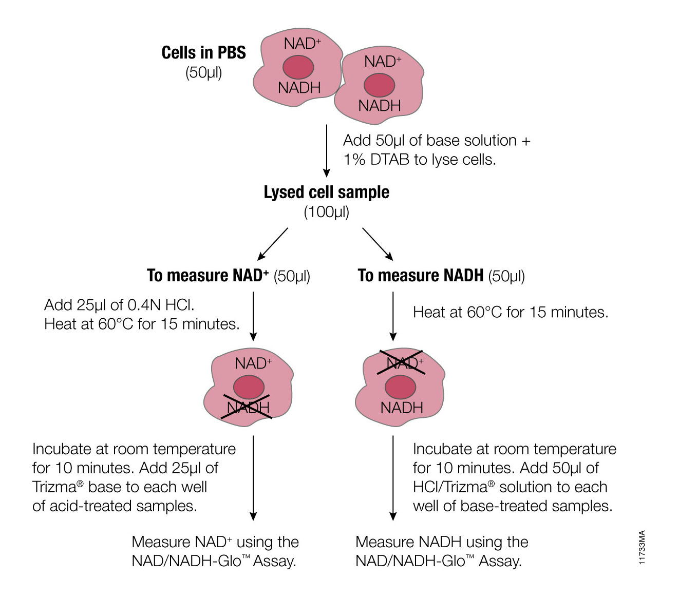 NADH Metabolism Assays