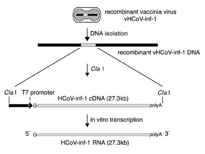 T7 ribomax express generation of 27kb in vitro transcripts in minutes schematic representation of the preparation of vaccinia virus vhcov inf 1 derived template pronofoot35fo Image collections