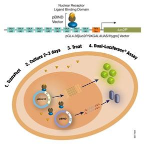 glucocorticoid mineralocorticoid corticosteroid