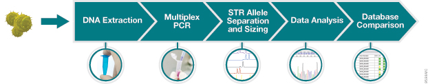 DNA Extraction, Multiplex PCR, STR Allele Separation and Sizing, Data Analysis, Database Comparison