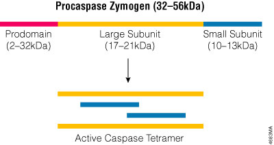 The active caspase enzyme.