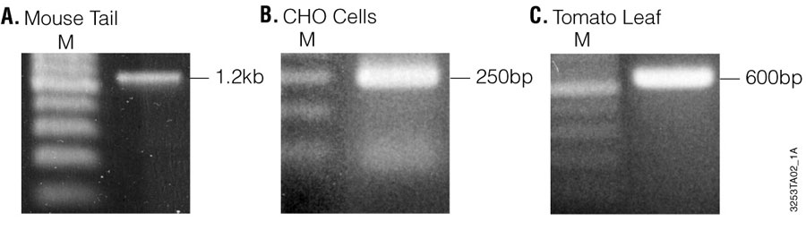 PCR products amplified from purified mouse tail DNA 3253ta02-1a-900x257