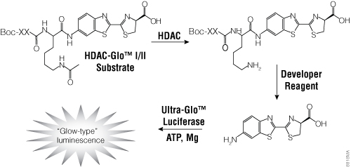 The single-reagent-addition HDAC-Glo™ I/II Assay. Figure# 8818MA