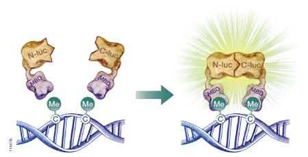 genomic imprinting animation - photo #5