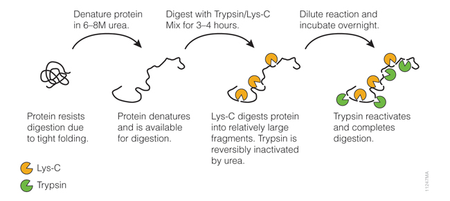 Digesting difficult-to-digest proteins using a specialized two-step procedure with Trypsin/Lys-C Mix.