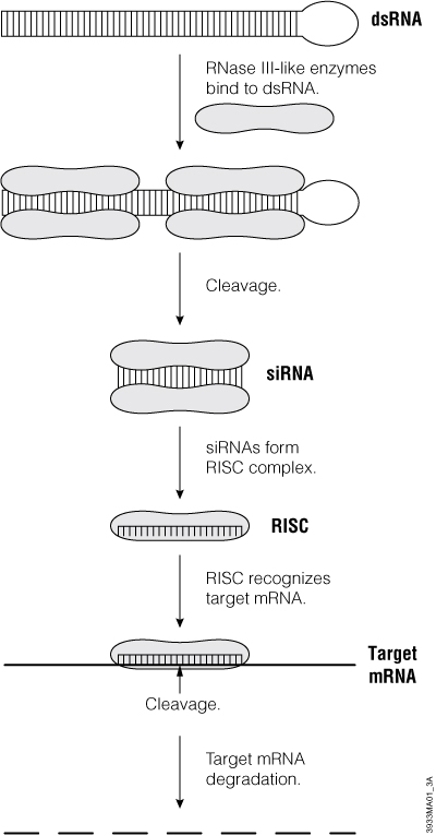 Simplified schematic diagram of the proposed RNA interference mechanism.