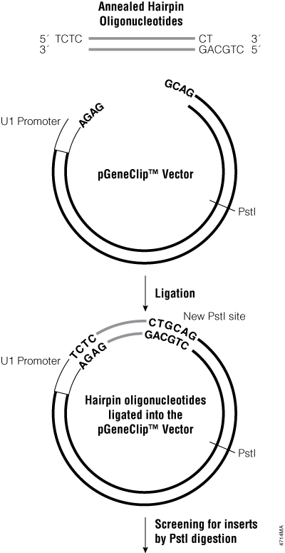 Cloning of a hairpin insert into a pGeneClip™ Vector.
