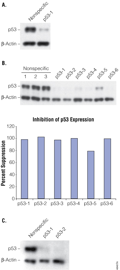 Inhibition of p53 expression in transient transfections and in stable clones.
