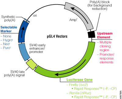The family of pGL4 Luciferase Reporter Vectors incorporates a variety of additional features, such as a choice of luciferase genes, Rapid Response™ versions, a variety of mammalian selectable markers and vectors with or without promoters and response elements.