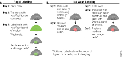 Live-cell labeling with the HaloTag® Technology.