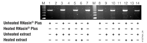RNasin Plus inhibits RNases in a rat liver protein extract and protects a template prior to RT-PCR.