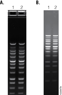 Promega BenchTop Markers and Ladders perform well in standard and precast agarose gels. 10344TA_250px
