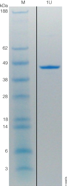 Coomassie-stained gel of ProTEV Plus showing 1 unit (U) of protein with the specific activity of 1 unit/µg.