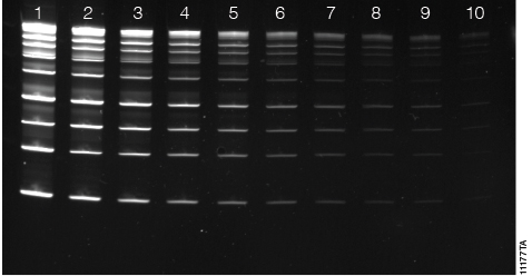 Diamond™ Gel Nucleic Acid staining of DNA separated on a 4–20% polyacrylamide gel.