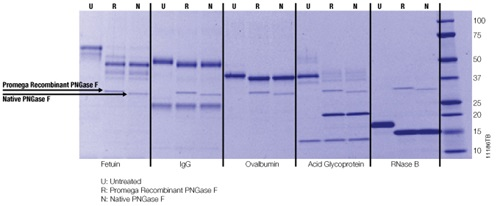 Recombinant PNGase F deglycosylates multiple substrates.