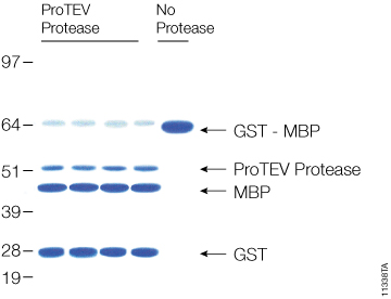 Cleavage of 20µg of GST-MBP fusion protein with ProTEV protease after 60 minutes at 30°C.