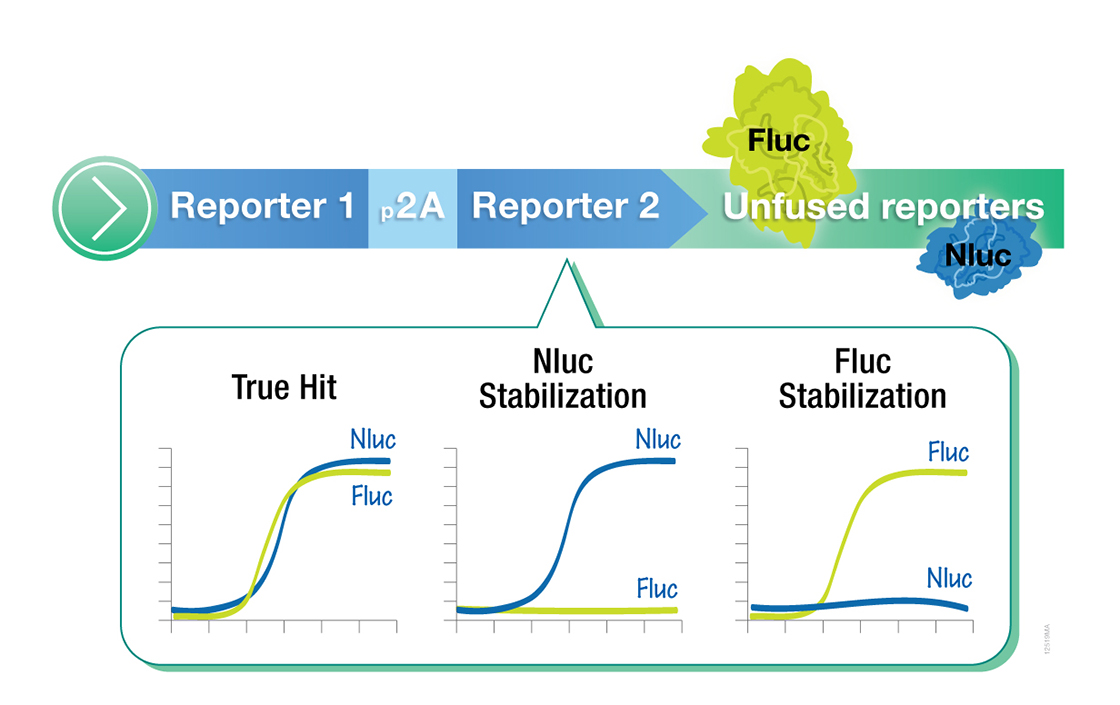 Express firefly and NanoLuc luciferase reporters from a single open reading frame in a coincidence assay.