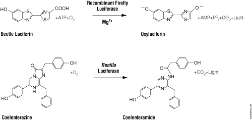 Firefly and Renilla luciferase reactions with their respective substrates, beetle luciferin and coelenterazine, to yield light.