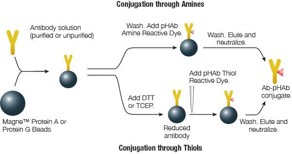 Phab Reactive Dyes For Screening Antibody Internalization