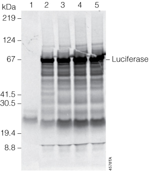 In vitro transcription/translation of uncut or linear T7 Control DNA.
