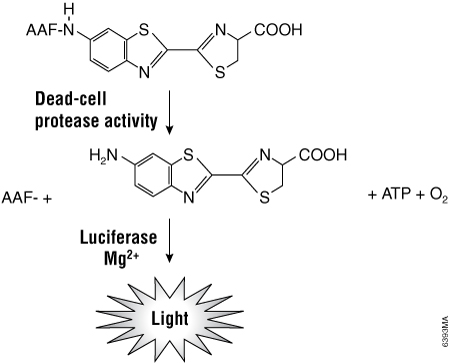 Cleavage of the luminogenic AAF-Glo Substrate by dead-cell protease activity.