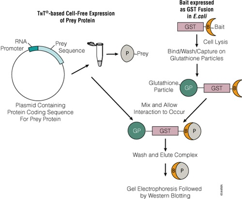 Representation of pull-down assay using bacterial expression of bait protein and TNT® cell-free system for the expression of the prey protein.