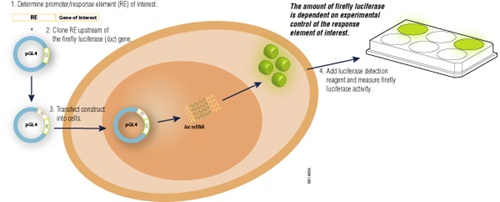 Overview of reporter gene transfection, expression in the cell and reporter assay.