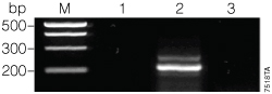 Second amplification of the 175µM dUTP:25µM dTTP PCR product.