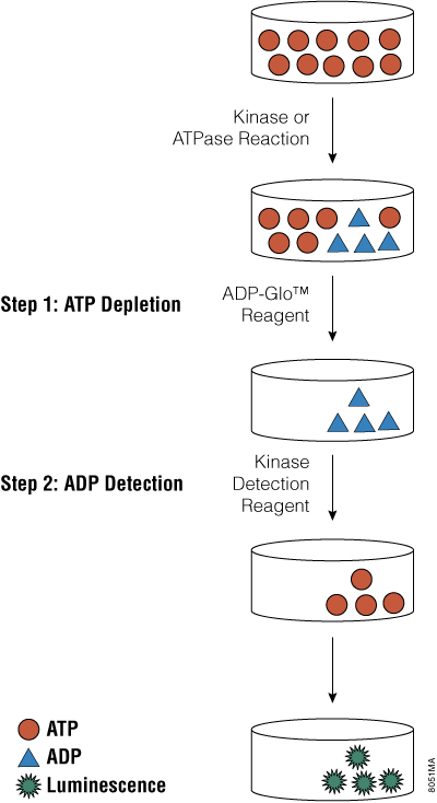 Principle of the ADP-Glo Kinase Assay.