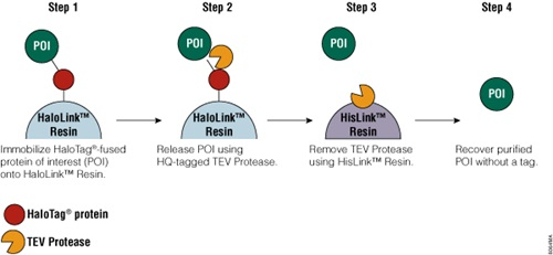 Schematic diagram of protein purification using HaloTag Technology.