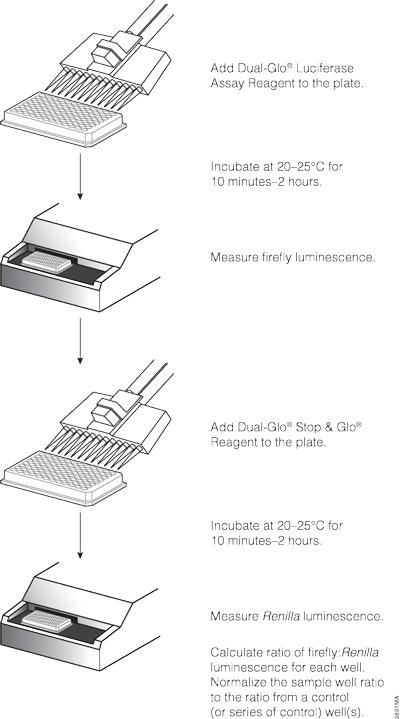 Dual-Glo® Luciferase Assay System