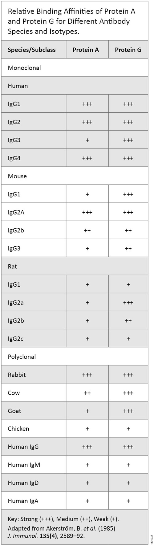 Relative binding affinities of Protein A and Protein G for different antibody species and isotypes.